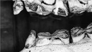 Wolf Teeth in Horses